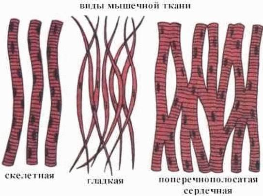 тест для определения какая мышечная ткань преобладает