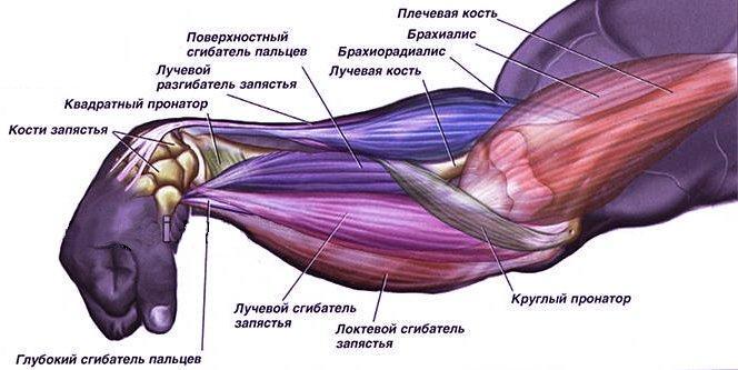 Анатомические особенности предплечья
