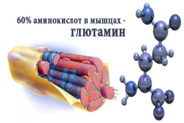 Глютамин для роста мышц